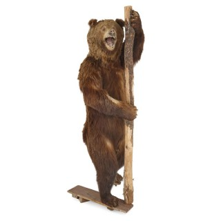 Taxidermy of standing Brown Bear