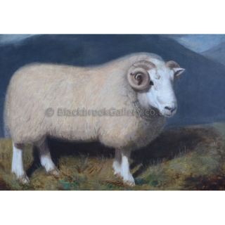 Cheviot Ram