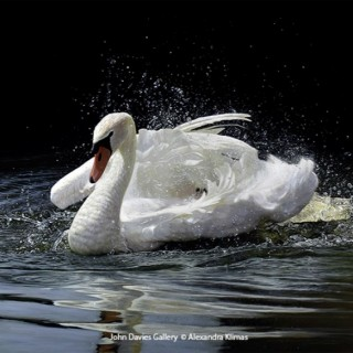 Beauty the Mute Swan