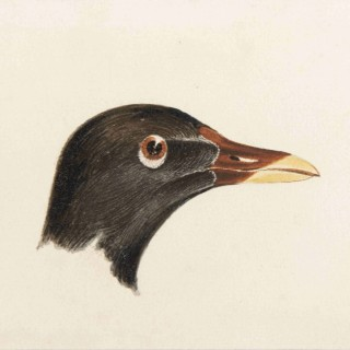 Study of the head of a Moorhen