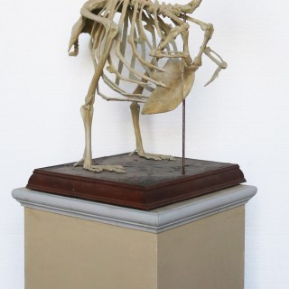 An Antique Cast of a Complete Dodo Skeleton