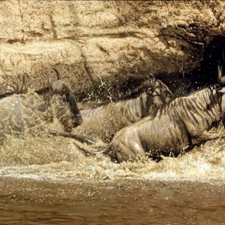 Wildebeest Crossing
