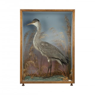 Vintage Century Taxidermy, Cased Heron