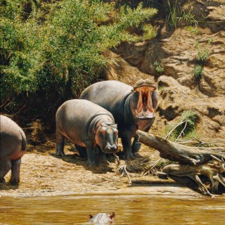 Hippos, Mara River, Kenya
