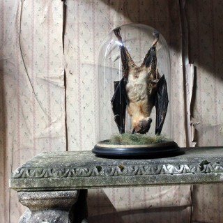 Good c.1900 Dome Cased Taxidermy Fruit Bat