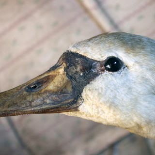A Large Mature 19thC Taxidermy Mute Swan c.1900