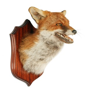 20th Century Taxidermy Fox Head