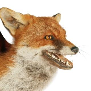 20th Century Taxidermy Fox Head