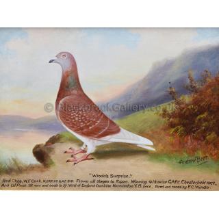 Portrait of 'Windos Surprise' Racing Pigeon
