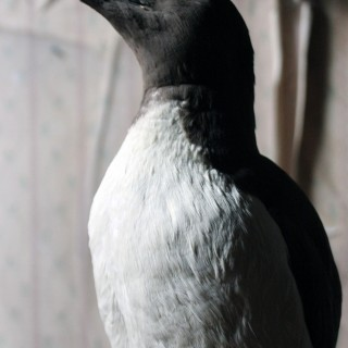 Good c.1900 Dome Cased Taxidermy Guillemot