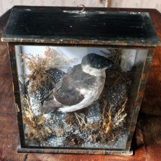 A Cased Taxidermy Little Auk c.1900