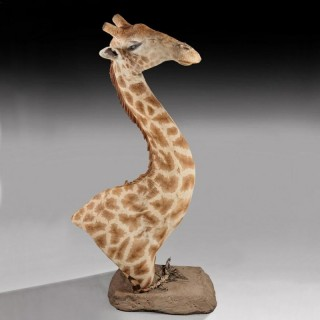 Rare And Extremely Well Prepared Late 20th Century Taxidermy African Bull Giraffe