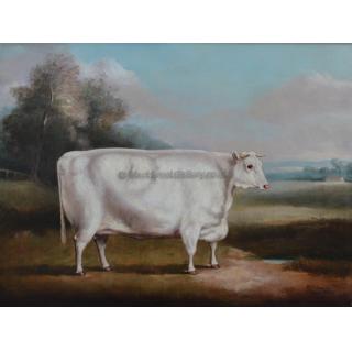 White Shorthorn Heifer
