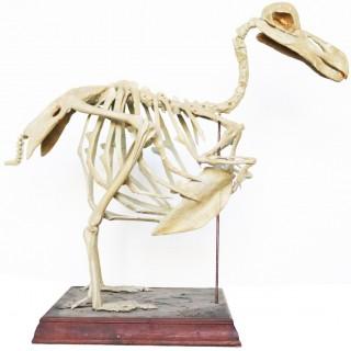 An Antique Cast of a Complete Dodo Skeleton